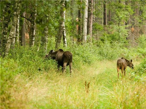 Här minskar älgskadorna på skogen